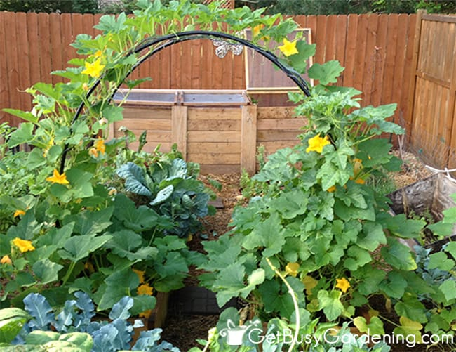 My squash arch in the garden