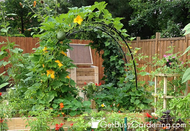 My squash arch with pumpkins growing over it
